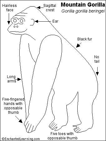 mountain gorilla printout- enchantedlearning.com - Silverback Gorilla Coloring Pages