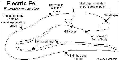 electric eel parts diagram  electric  get free image about Anatomy of an Eel Diagram Moray Eel Anatomy