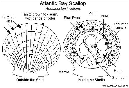 Scallop Printout- Enchanted Learning Software
