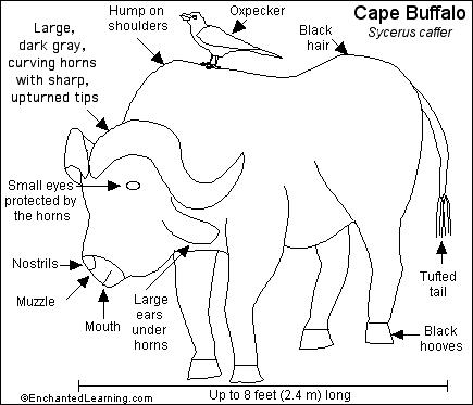 Cape Buffalo Printout Enchantedlearning Com