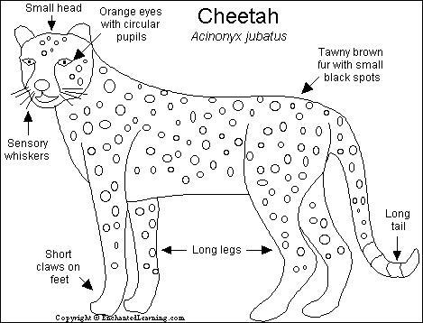Cheetah adaptations - photo#25