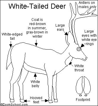 white tailed deer coloring page - white tailed deer printout