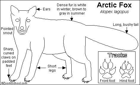 Arctic Fox Printout- EnchantedLearning.com