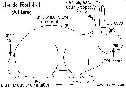 Jack rabbit printout for Jack rabbit coloring page