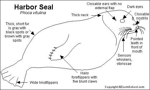 harbor seal coloring pages - photo#5