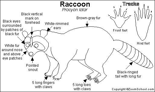 Raccoon Printout Enchantedlearning Com