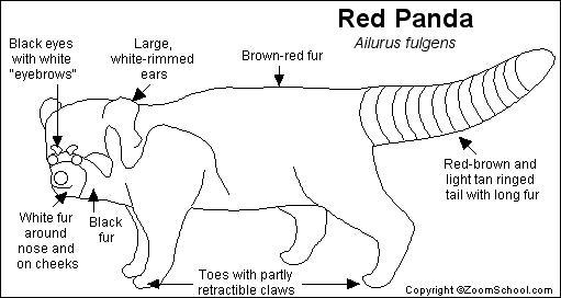 Red Panda Printout EnchantedLearningcom