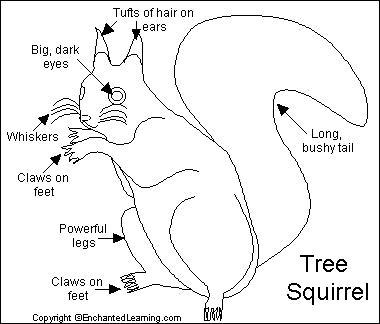 Squirrel Printout EnchantedLearningcom