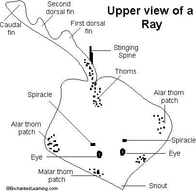 Manta ray anatomy diagram