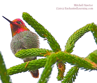 Anna's Hummingbird with Red Gorget
