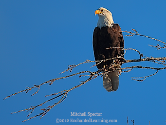 Bald Eagle Looking Left