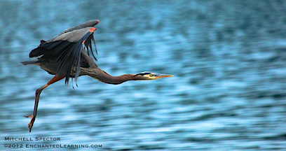 A Great Blue Heron, Just in Flight