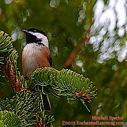 Chestnut-Backed Chickadee in a Tree