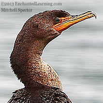 Head of a Juvenile Double-Crested Cormorant
