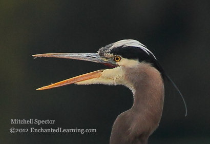 Head of a Great Blue Heron, with Open Beak