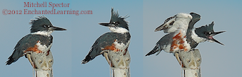 Life as a Belted Kingfisher