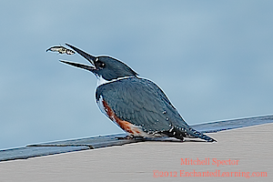 Belted Kingfisher Tossing a Fish in the Air