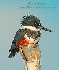 How to Catch a Fish if You're a Belted Kingfisher, 1 of 12