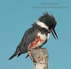 How to Catch a Fish if You're a Belted Kingfisher, 9 of 12
