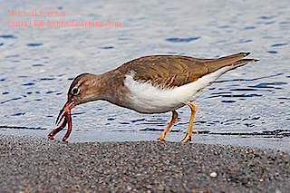 Spotted Sandpiper Catching Lunch