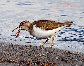 Spotted Sandpiper Eating Lunch