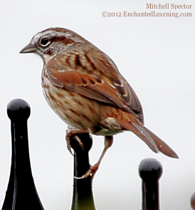 Song Sparrow Perched on a Fence