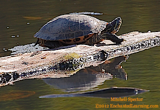 Red-Eared Slider and its Reflection in a Pond