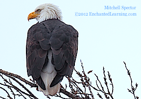 Bald Eagle Showing Tail Feathers