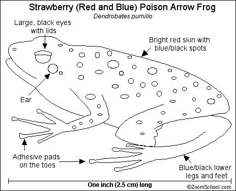 Poison Arrow Frogs Printout Enchanted Learning Software