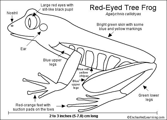 Red Eyed Tree Frog Printout Enchanted Learning Software