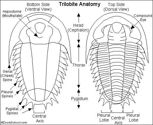 Trilobite Printout Enchantedlearning Com