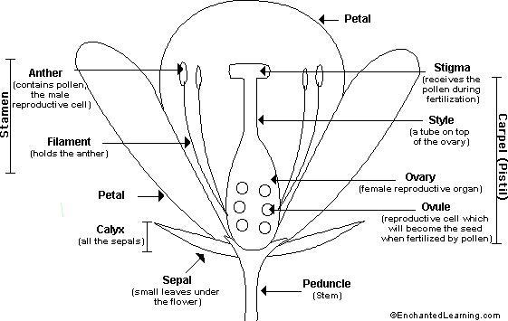 carnation knot diagram flower anatomy printout - enchantedlearning.com