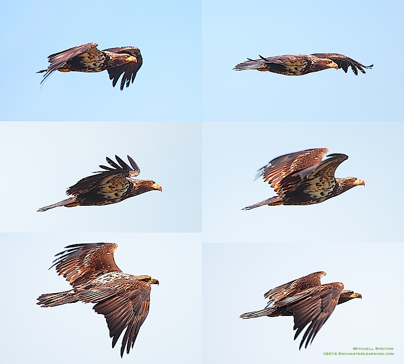 Juvenile Bald Eagle Flight Montage Enchantedlearning Com
