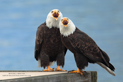 Two Bald Eagles Singing