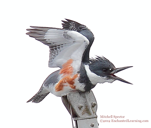 Belted Kingfisher with Open Beak