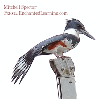 Belted Kingfisher with Unfurled Tail Feathers
