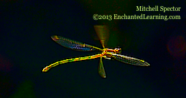 Damselfly in Flight