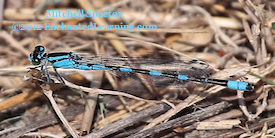 Male Tule Bluet Damselfly