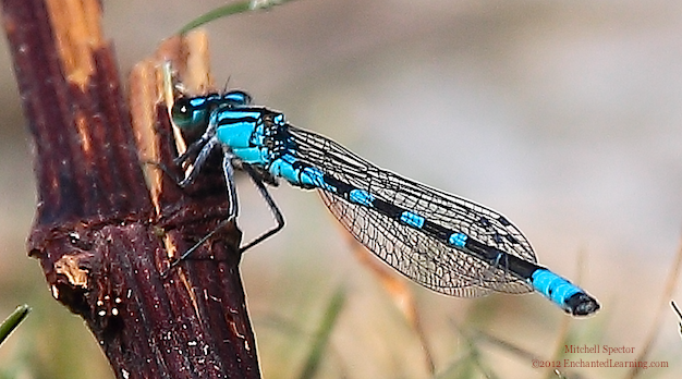 Male Tule Bluet Damselfly Perching on a Plant