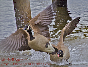 Two Canada Geese Clash