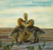 Goslings on a Spring Evening