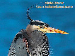 A Close-Up of a Great Blue Heron