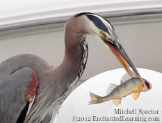 A Great Blue Heron with a Fish It Just Caught
