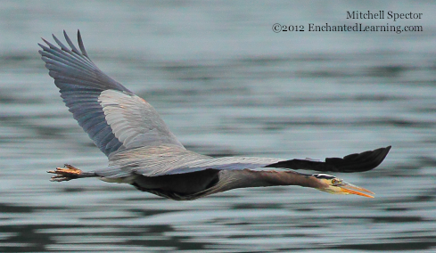 A Great Blue Heron in Flight, Wings Outstretched