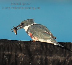 How to Catch a Fish if You're a Belted Kingfisher, 11 of 12