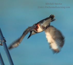 How to Catch a Fish if You're a Belted Kingfisher, 12 of 12
