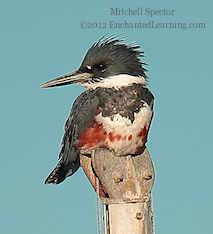How to Catch a Fish if You're a Belted Kingfisher, 2 of 12