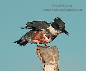 How to Catch a Fish if You're a Belted Kingfisher, 4 of 12