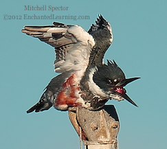 How to Catch a Fish if You're a Belted Kingfisher, 6 of 12