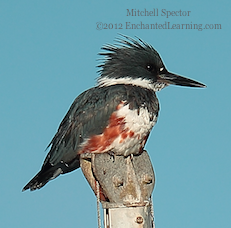 How to Catch a Fish if You're a Belted Kingfisher, 8 of 12